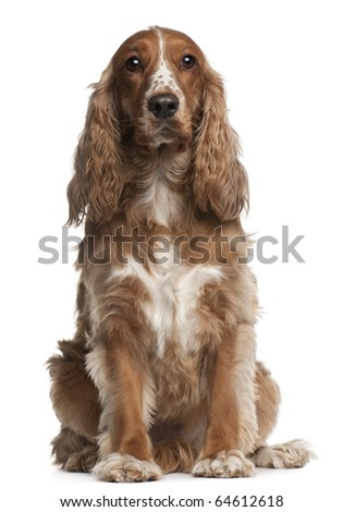 American cocker spaniel, 3 years old, sitting in front of white background