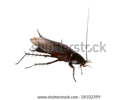 American Cockroach Isolated on White