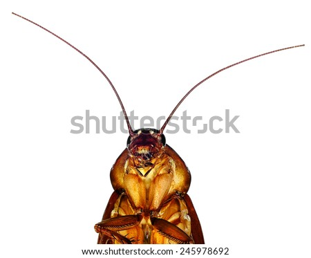 American cockroach (Periplaneta americana) isolated on a white background