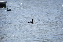 American coot duck (Fulica americana) swimming in choppy water