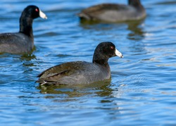 American coot - Fulica americana - or Mud Hen swimming in a lake. Full profile with detailed feathers and vivid, red eyes