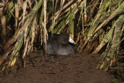 American Coot (fulica americana) sitting in a murky wetland