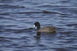 American Coot (fulica americana) swimming in a large body of water