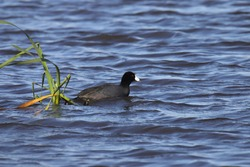American Coot (fulica americana) swimming in a pond