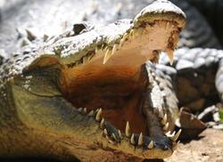 american crocodile basking with mouth open showing teeth. prehistoric reptile dinosaur predator , san jose, costa rica