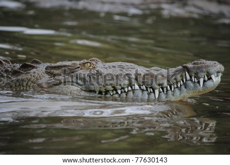 American crocodile swimming