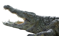 American crocodile with open mouth on an isolated white background