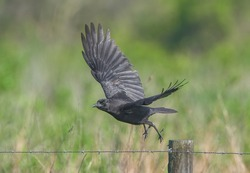 American crow (Corvus brachyrhynchos) flying from fence post in Florida; perched on barbed wire fence post, feather details, green grass bokeh background; shiny iridescence