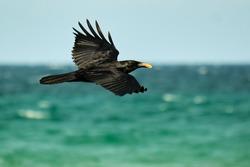 American Crow in flight over the coastline of the Atlantic Ocean with food in beak