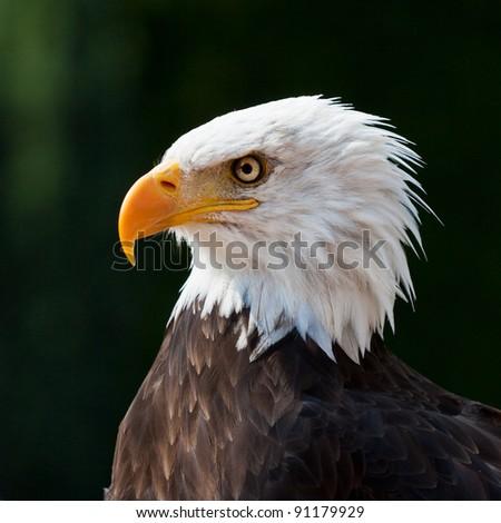 American eagle portrait with dark background