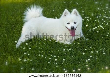 American Eskimo Dog #162964142