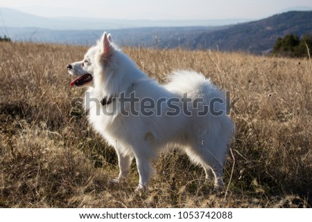 American eskimo dog among nature.