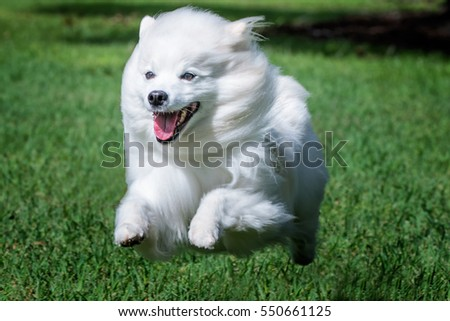 American Eskimo Dog running