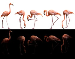 american flamingo bird (Phoenicopterus ruber) on dark and white background