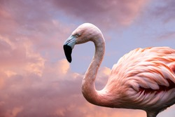American Flamingo. The American flamingo (Phoenicopterus ruber) is a large species of flamingo also known as the Caribbean flamingo