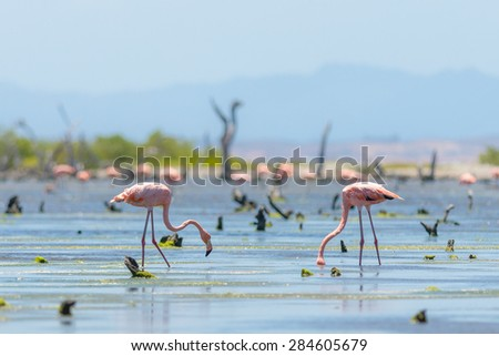 Shutterstock American flamingos (Phoenicopterus ruber), in shallow waters. Seen at Margarita Island in the Caribbean Sea, in Venezuela