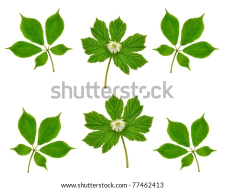 American Ginseng and Goldenseal plants isolated on a white background.