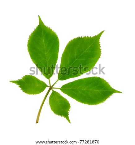American Ginseng leaves (Panax quinquefolius) on a white background.