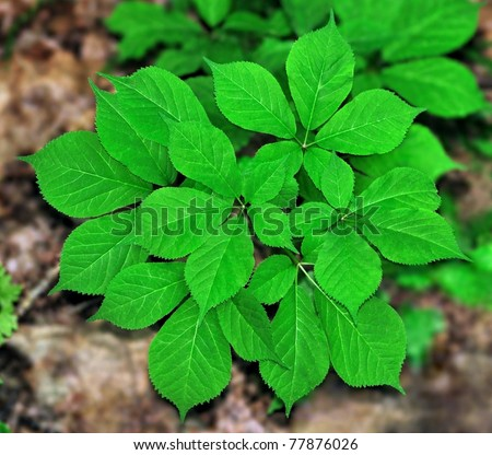 American Ginseng (Panax quinquefolius) growing on the forest floor.