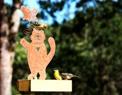 American Gold Finches on Bird Feeder