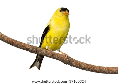 american goldfinch at rest on white background #39100324