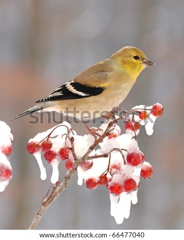 American Goldfinch (Carduelis tristis).  American Goldfinch on an icy hawthorn branch full of bright red berries.