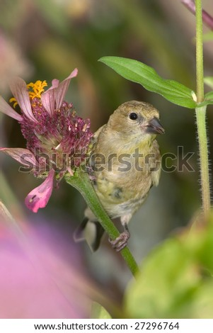 American Goldfinch, Carduelis tristis, Dining On Flower Seeds