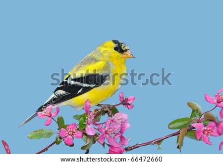 American Goldfinch (Carduelis tristis).  Male American Goldfinch on crabapple blossoms