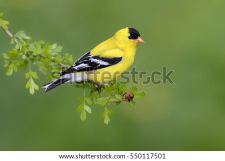 American Goldfinch (Carduelis tristis) on perch - Victoria BC, Canada