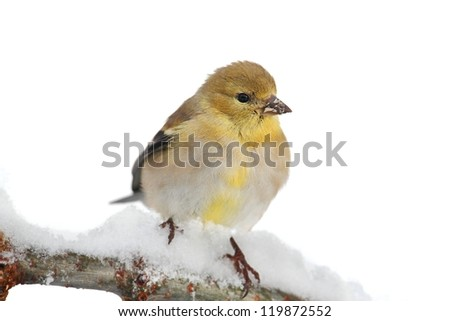 American Goldfinch (Carduelis tristis) perched in a tree with snow