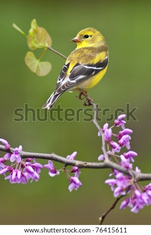 American Goldfinch (Carduelis tristis) perching on Redbud tree. #76415611
