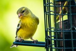 American Goldfinch feeding on thistle seeds at a bird feeder