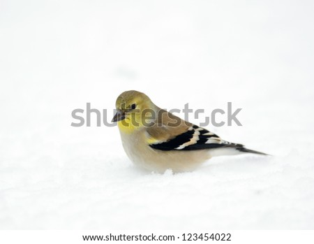 American goldfinch in the snow following a heavy winter snowstorm