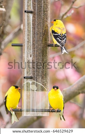 American Goldfinch on a niger feeder in an blooming ornamental apple tree #646529629