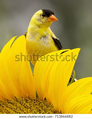 american goldfinch on sunflower
