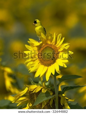 American Goldfinch on Sunflower (Carduelis tristis)