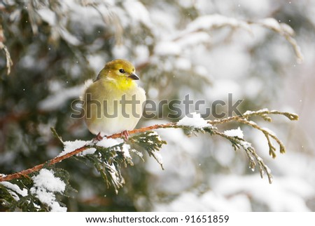 American goldfinch perched on a cedar branch in the winter.