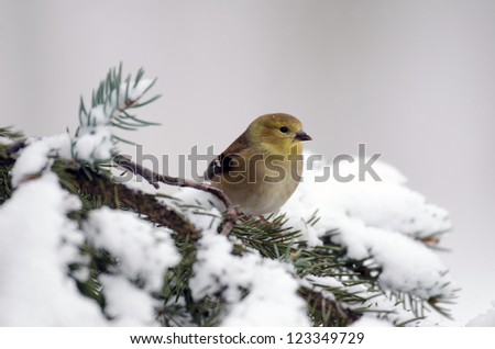 American goldfinch perched on a evergreen branch following a heavy winter snow storm