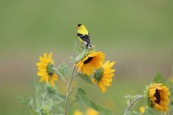 American goldfinch with sunflowers on warm spring day.