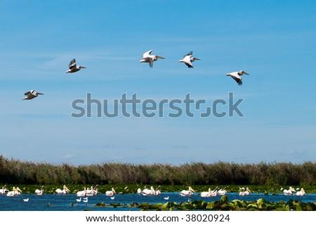 American Great White Pelican (Pelecanus onocrotalus) in flight