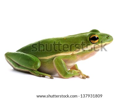 American green tree frog (Hyla cinerea) on a white background