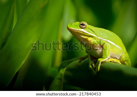 American green tree frog with lush ginger foliage