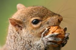 American grey squirrel, Sciurus carolinensis, portrait eating a nut