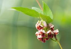 American groundnut flower (Apios americana)