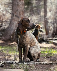 American hunting hound tethered to chain