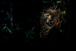 American jaguar female in the darkness of a brazilian jungle, panthera onca, wild brasil, brasilian wildlife, pantanal, green jungle, big cats, dark background, low key