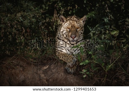 American jaguar female in the darkness of a brazilian jungle. Panthera onca. Wild brasil. Brasilian wildlife. Big cats, dark background, low key. #1299401653