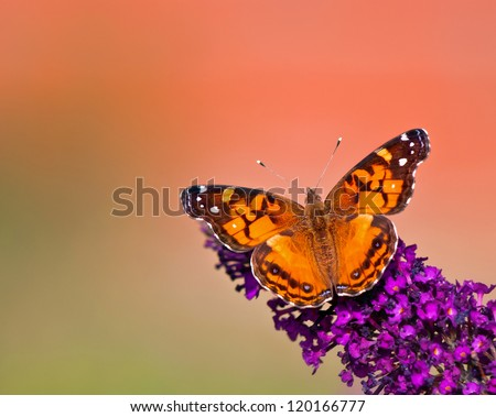American Lady (Vanessa virginiensis) butterfly feeding on purple butterfly bush flowers. Green and orange color background with copy space.