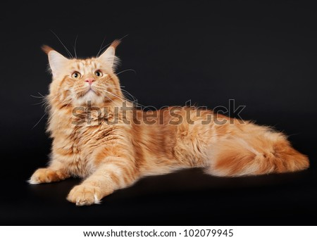 american maine coon cat on black background