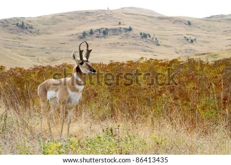 American Male Pronghorn (National Bison Range Wildlife Refuge, Montana)